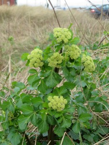Alexanders at South Gare