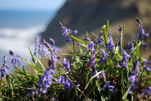 Bluebells at Hummersea