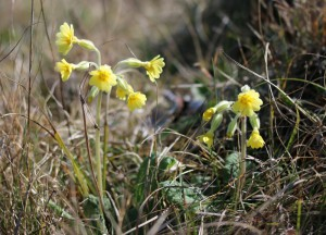False Oxlip at Hummersea