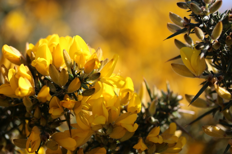 Gorse at Boulby
