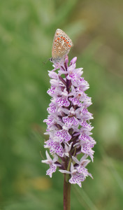 Damian-MoneyCommonBlue-and-Common-Spotted-orchid[1]