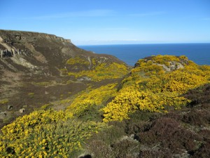 Gorse-at-Boulby-Quarry