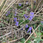 Hairy-Violet-at-South-Gare