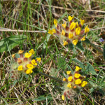 Kidney-Vetch