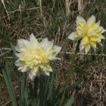 Narcissus-Irene-Copeland-a-garden-plant-at-Coatham