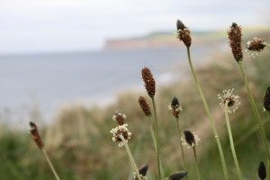 Ribwort-plantain-and-huntcliff