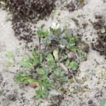 Sea-Mouse-ear-at-Coatham