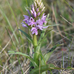 Common-Spotted-Orchid2
