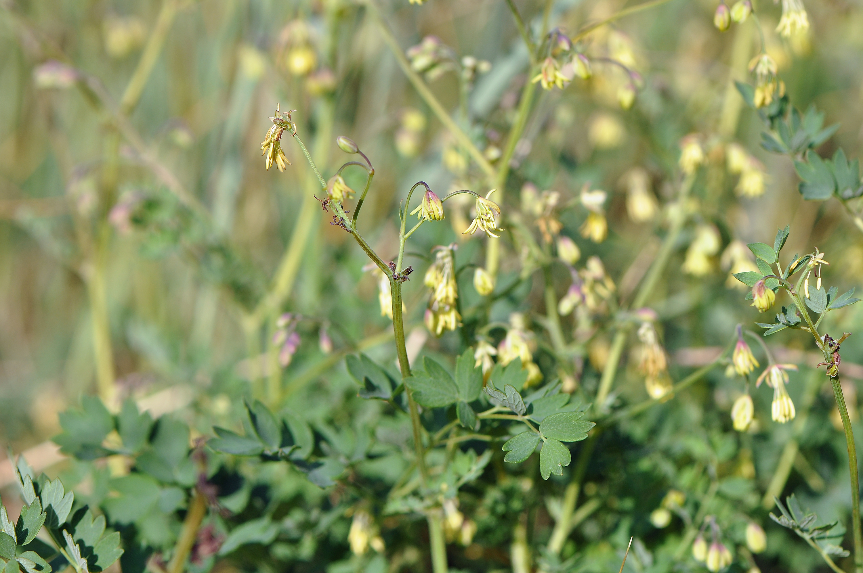 Lesser-Meadow-Rue
