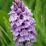 Spotted-Orchid-in-Horsetails