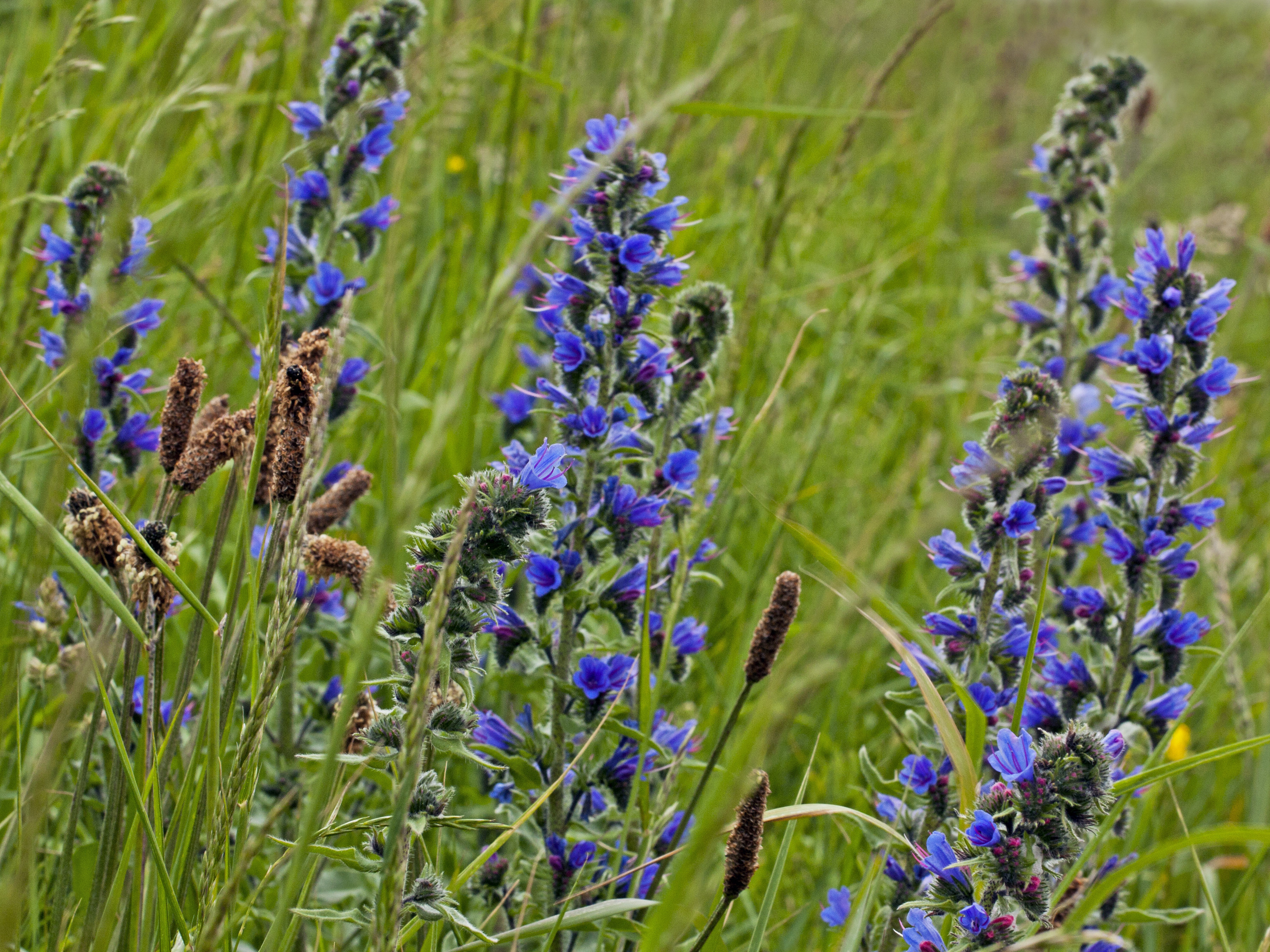 Vipers-Bugloss-and-Plantains