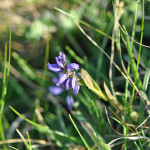 common-milkwort