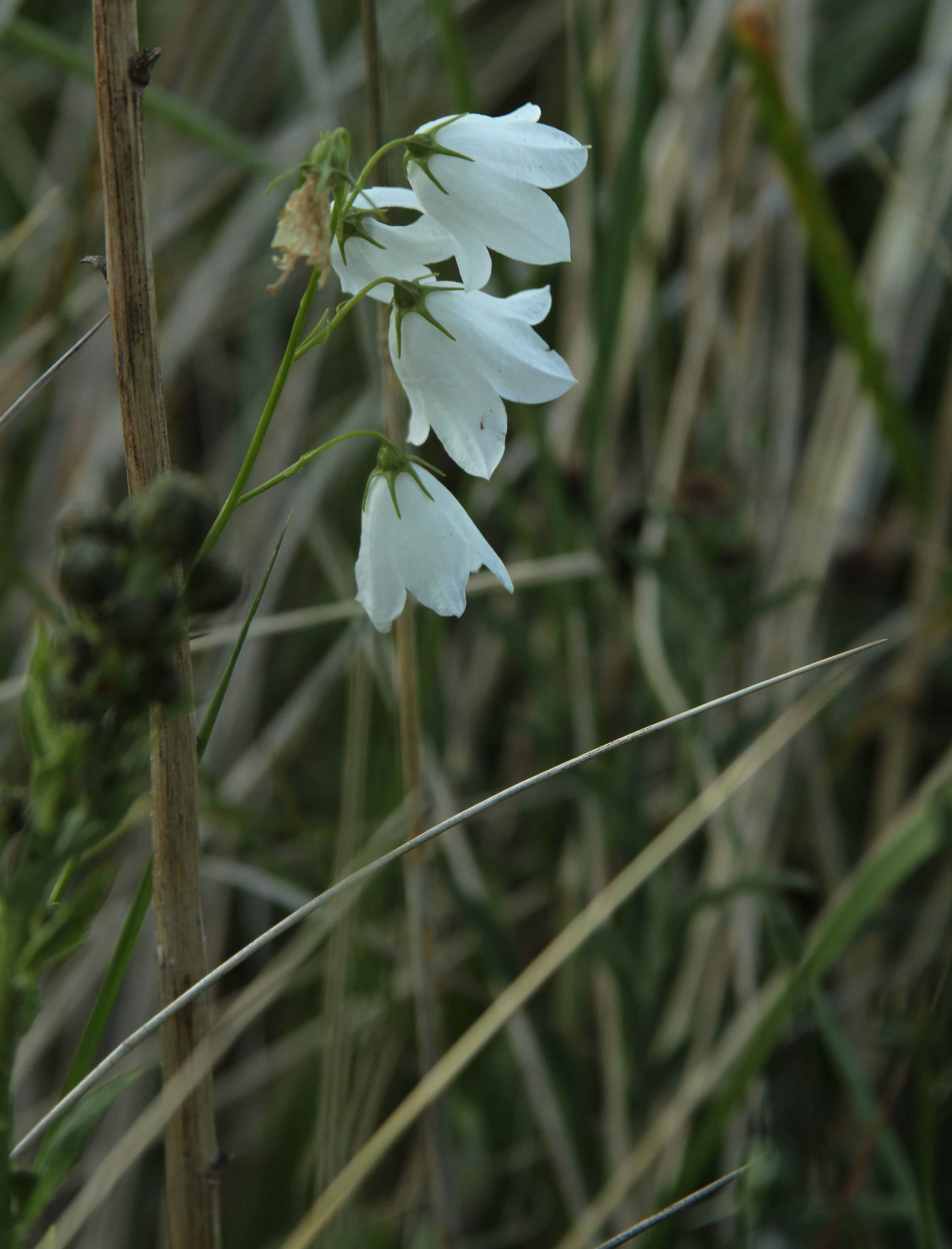 IMG_3751-white-bell-cattersy
