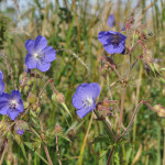 Meadow-Cranesbill1