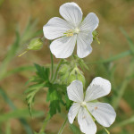 Meadow-Cranesbill3