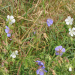 Meadow-Cranesbill4