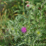 Musk-Thistle2