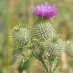 Spear-thistle2