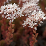 Stonecrop-with-beetles
