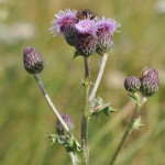 creeping-thistle