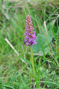fragrant-orchid