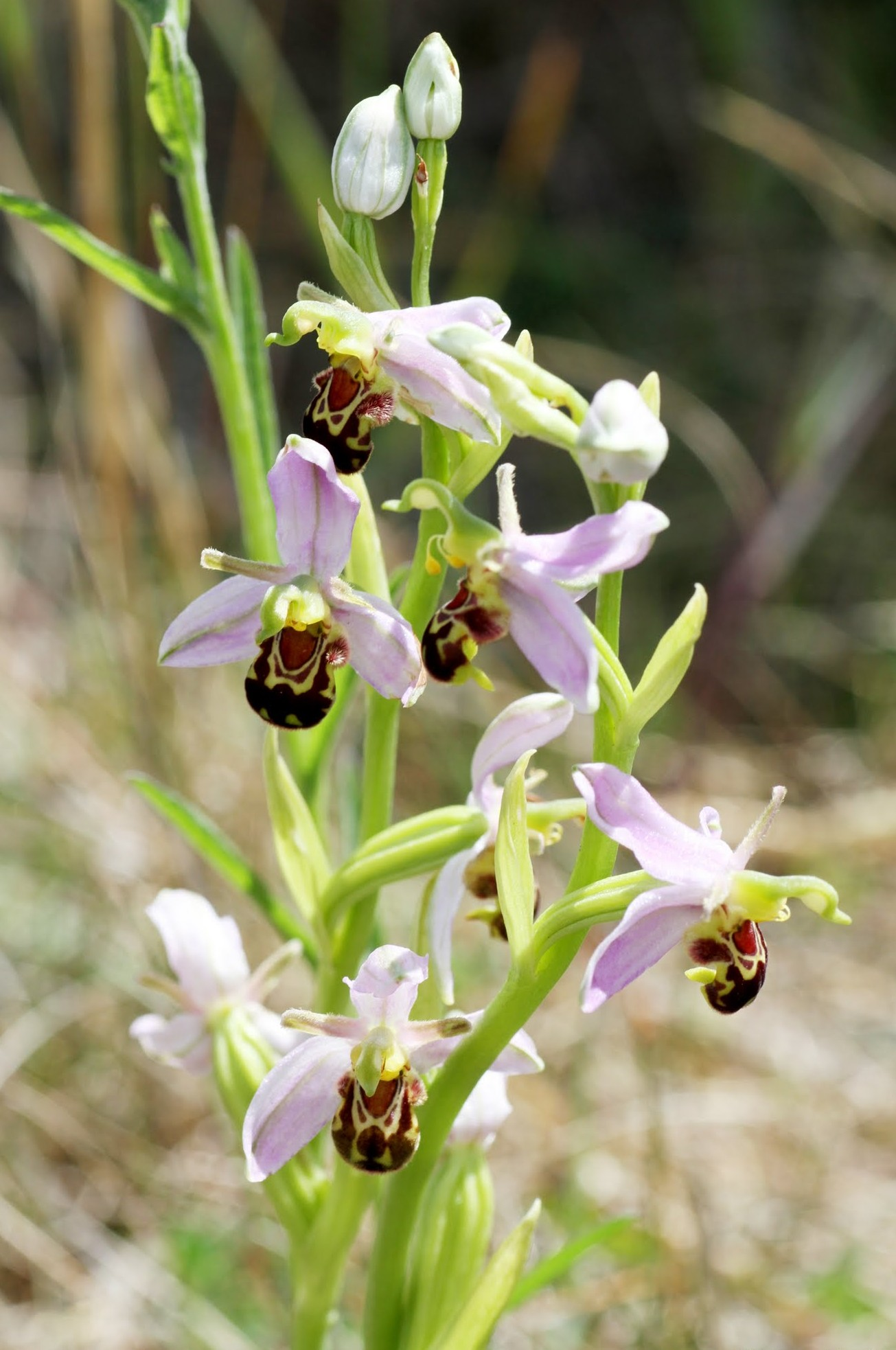 Bee-orchids-Ophrys-apifera