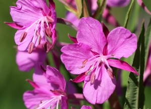 Rosebay-willowherb1